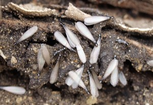 Clearwater Termite Control